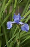 Iris Fotografía de archivo libre de regalías
