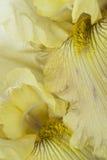 Iris Foto de archivo