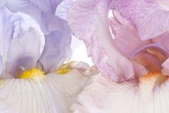 Iris Imagen de archivo libre de regalías