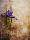 Iris. Old colored background with iris Stock Photography