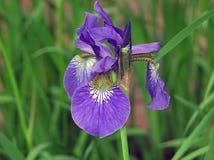 Iris. Blue Iris in Bloom in the springtime Stock Photography