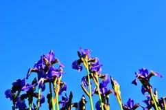 Iris Fotos de archivo libres de regalías