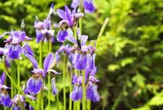 Ιώδη λουλούδια IRIS Στοκ Φωτογραφίες