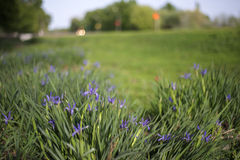 Iris fotos de archivo