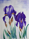 Iris. Watercolor painting of an Iris flower, created by the photographer Royalty Free Stock Image