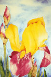 Iris. Watercolor painting of an Iris flower, created by the photographer Royalty Free Stock Images