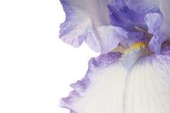 iris Royaltyfria Foton