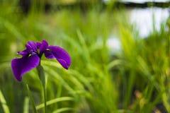 Iris Royalty-vrije Stock Afbeelding