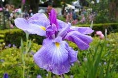 Εγκαταστάσεις λουλουδιών της Iris Στοκ φωτογραφία με δικαίωμα ελεύθερης χρήσης