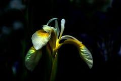 iris Arkivbilder