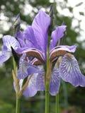 Iris Royalty-vrije Stock Foto's