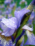 Iris royalty-vrije stock afbeeldingen