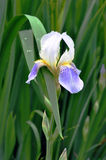 Iris. Flower and leaves with dew drops Stock Images