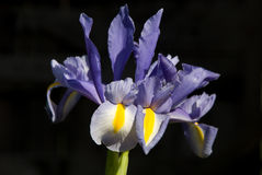 Iris Against Black Background. Isolated purple Iris flower against a black background royalty free stock photography