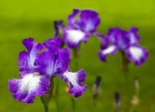 Iris alemán Fotografía de archivo libre de regalías