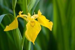 Iris amarillo Imagenes de archivo