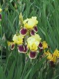 Iris amarillo Fotos de archivo