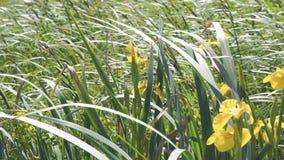 Iris amarillo de la flor en el viento metrajes