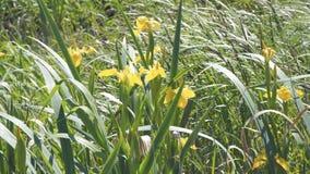 Iris amarillo de la flor en el viento almacen de video