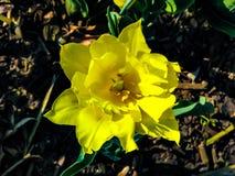 Iris amarillo hermoso en el día soleado - detalle en la flor imágenes de archivo libres de regalías