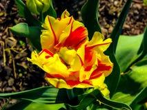 Iris amarillo hermoso en el d?a soleado - detalle en la flor foto de archivo libre de regalías