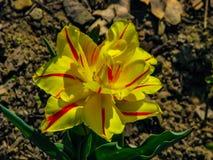 Iris amarillo hermoso en el d?a soleado - detalle en la flor fotografía de archivo