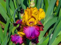 Iris amarillo-púrpura hermoso en el día soleado - detalle en la flor fotografía de archivo libre de regalías