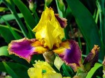 Iris amarillo-p?rpura hermoso en el d?a soleado - detalle en la flor imagenes de archivo