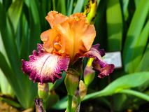 Iris amarillo-p?rpura hermoso en el d?a soleado - detalle en la flor imagen de archivo libre de regalías