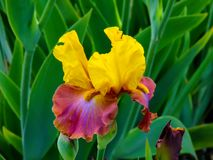 Iris amarillo-p?rpura hermoso en el d?a soleado - detalle en la flor fotografía de archivo