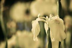 Iris amarillo silenciado del pantano Imagen de archivo