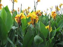 Iris amarillos Fotos de archivo libres de regalías
