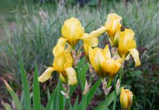 Iris amarillos Imagen de archivo libre de regalías