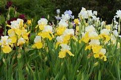 Iris amarillos Imagenes de archivo