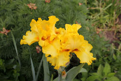 Iris amarillos Fotos de archivo