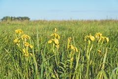 Iris amarillos de las flores en prado verde Foto de archivo