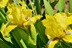 Iris amarillos en el parque del verano Fotografía de archivo