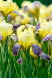 Iris amarillos en jardín Foto de archivo libre de regalías