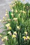 Iris amarillos en verano fotografía de archivo