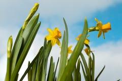 Iris amarillos florecientes contra la perspectiva del cielo de la primavera Imágenes de archivo libres de regalías