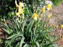 Iris amarillos florecientes en una cama de flor Fotos de archivo