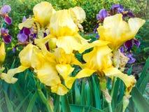 Iris amarillos florecientes Jardín hermoso del verano Foto de archivo libre de regalías