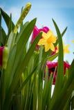 Iris amarillos florecientes y tulipanes rojos contra la perspectiva del cielo de la primavera Foto de archivo libre de regalías