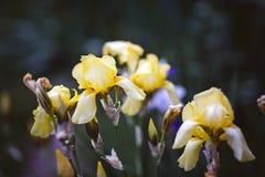 Iris amarillos y azules Fotografía de archivo
