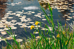 Iris amarillos y lirios de agua en la charca Fotografía de archivo libre de regalías
