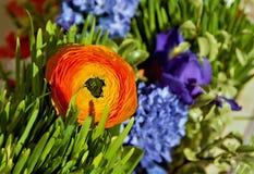 Iris anaranjados del ranúnculo, en hierba verde imagen de archivo