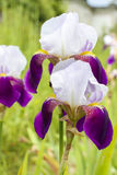 Iris aphylla in the garden Royalty Free Stock Image