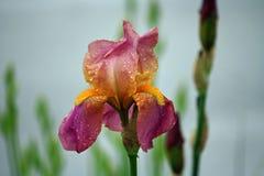 Iris après la pluie Image libre de droits