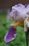 Iris après une pluie. Photos libres de droits