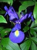 Iris, araña, abeja ¡Oh MI! Fotografía de archivo libre de regalías